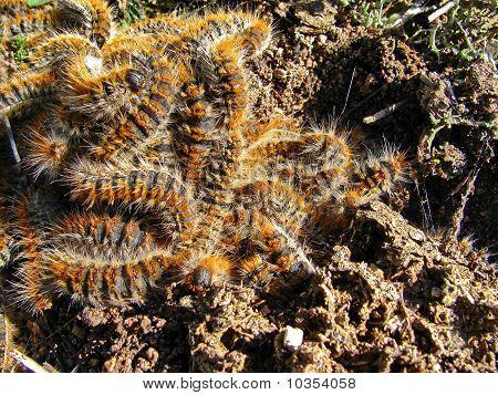 Forest caterpillars