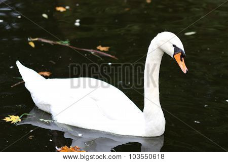 White Swam