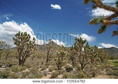 Joshua Tree Forest, Arizona,usa