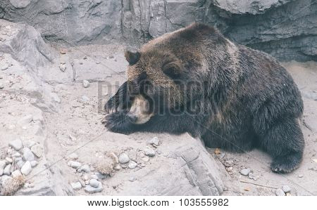 Big Grizzly Bear Sleeping On The Ground. Concept About Nature And Animals
