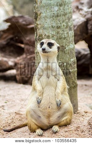 Meerkat Sitting In The Zoo A Beautiful