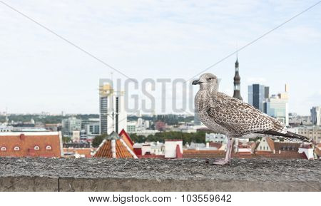 Seagull Fly In Front Of Tallinn Panorama