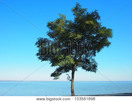 Lonely Tree Acacia On The Shores Of The Sea