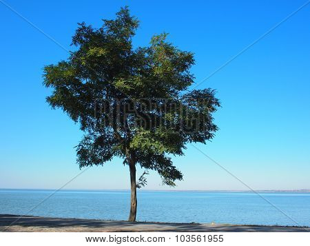 Lonely Acacia Tree With Green Leaves On The Coast Of The Sea