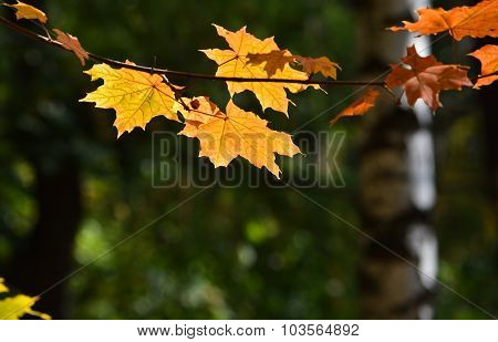 Autumn Maple Leaves On Trees.