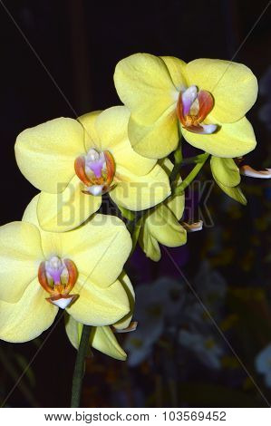 phalaenopsis fullers sunset flower