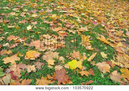 Autumn Leaves On The Grass.