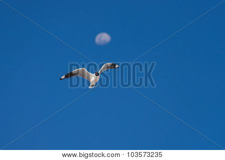 Andean Gull Flying Against Blue Sky And Defocused Moon