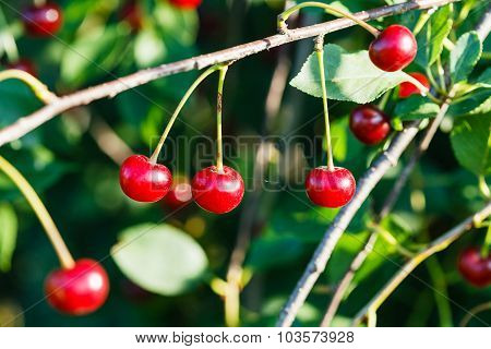 Several Red Cherry On Tree Branch