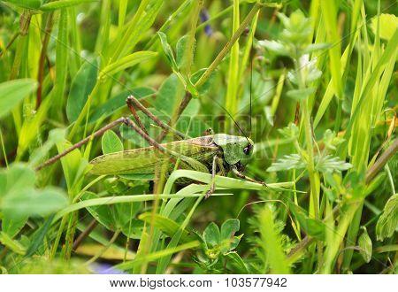 Big Green Grasshopper In The Grass