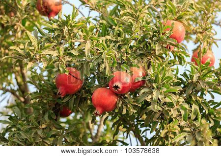 Ripe Red Pomegranates On A Tree