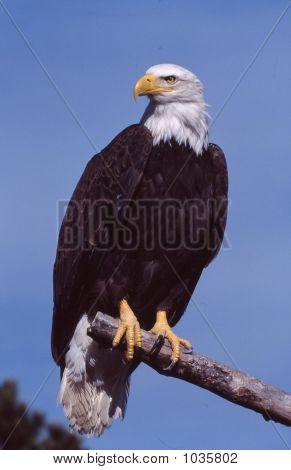 Bald Eagle Haliaeetus Leucocephalus5