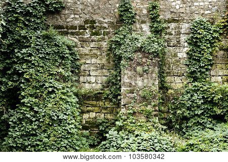 Stone Wall Overgrown With Ivy In Retro Style