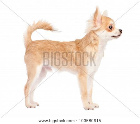 Posing young chihuahua dog isolated on white