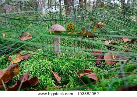 Boletus Hiding In The Grass