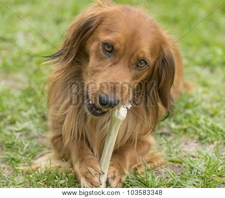 Dog with a bone