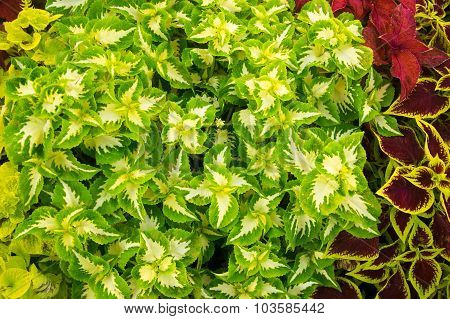 Vibrant Plant Leaves Of Green And Red