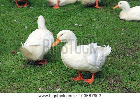 White Ducks In Grass
