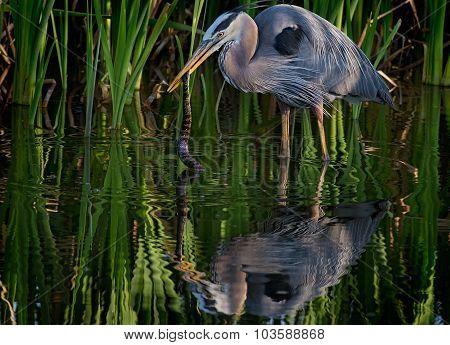 Night heron eating a water snake