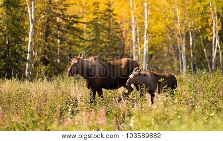 Cow Moose Leads Her Calf Across Road Near Denali Alaska