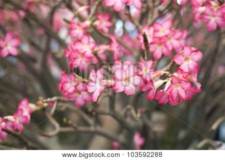 Dwarf Impala Lily In Flowerpot