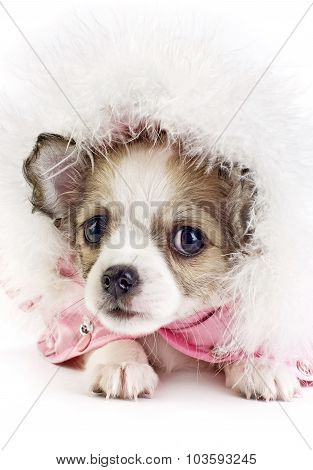 cute Chihuahua puppy portrait in hood with ornament of down