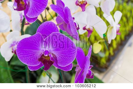 Image Of White And Purple Phalaenopsis Orchids Close Up