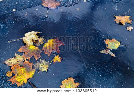 Puddle Of Rainwater With Autumn Maple Leaves Lying In It