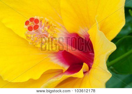 Closeup Of Yellow Hibiscus