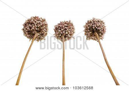 Allium - dried brown flowers decorative garlic.