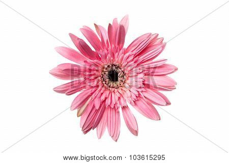 Gerbera Or Daisy, Flower Pink Color Isolated, Clipping Path