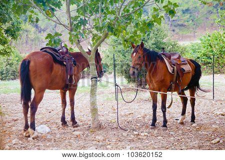 Two Chestnut Horses Saddled