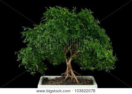 Bonsai Tree With Black Background