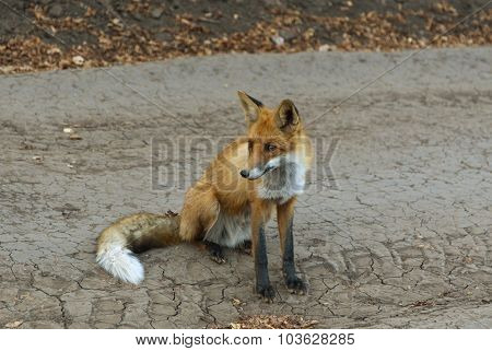 red fox sitting.