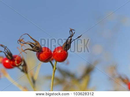 a ripe rose hip berries.