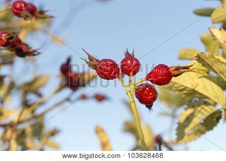 a ripe rose hesip berri.