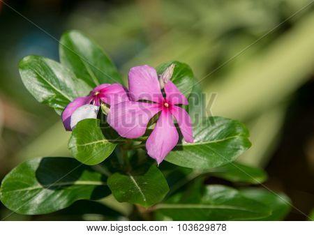The Madagascar Periwinkle Flower
