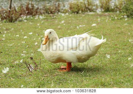 White Duck on grass