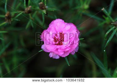 Pink Portulaca Flowers