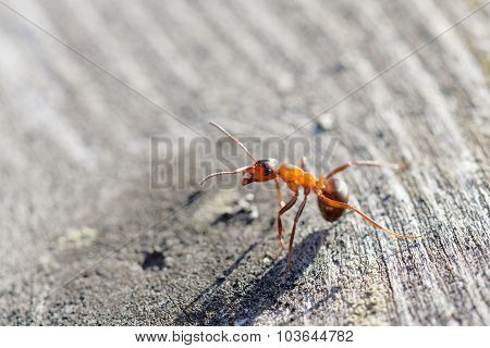 Red Ant Warrior In Agressive Pose