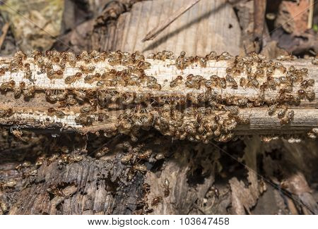 Group Of Termite Are Eating Wood, Selective Focus On Cloudy Group