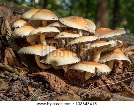 Claster of non-edible fungi growing in the forest