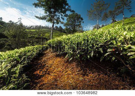 Tea plantation of the country of Sri Lanka at sunny day.