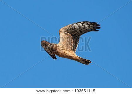 Hen Harrier (circus Cyaneus)