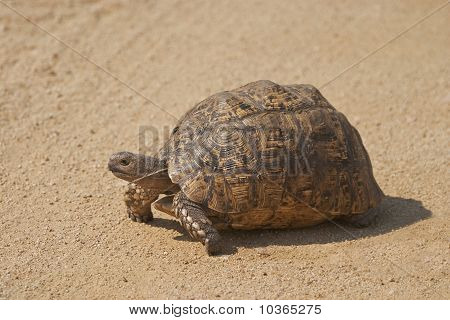 A Leopard Tortoise, Geocelone Pardalis, Walking Along A Gravel Road.