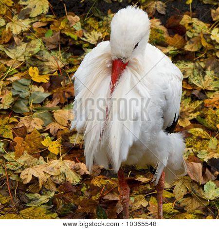 White stork resting Ciconia ciconia