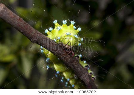 Great peacock moth caterpillar / Saturnia pyri