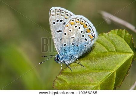 common blue / Polyommatus icarus