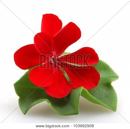 Pelargonium Geranium Flower Isolated On White Background