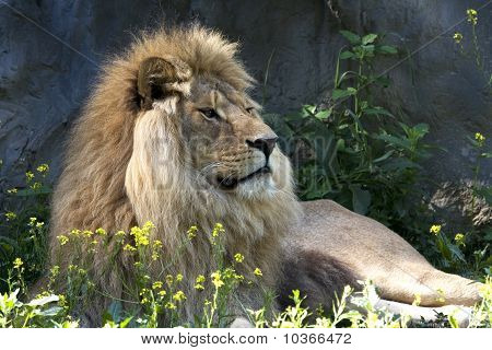 lion male resting on the ground / Panthera leo leo
